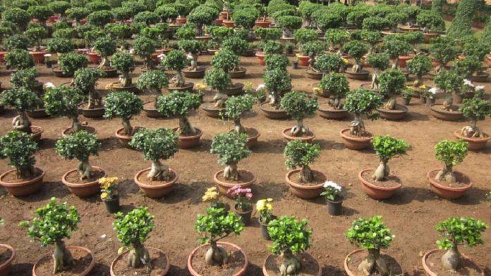 tarımsal iş fikri, bonzai yetiştiriciliği