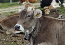 en verimli inek türleri